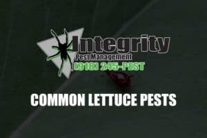 common lettuce pests