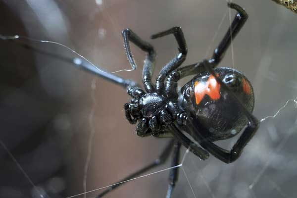 Black Widow spiders have a characteristic hourglass marking